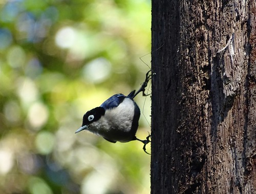 Blue Nuthatch, Ijen, Java, Indonesia
