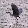 04-22-18-0014070 (Lake Worth) Tags: animal animals bird birds birdwatcher everglades southflorida feathers florida nature outdoor outdoors waterbirds wetlands wildlife wings