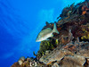 French Grunt in Repose (R. Donald Winship Photography) Tags: aquaticlife cozumel divingunderwater frenchgrunt palancarcavesreef