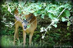 Meanwhile: (Garry's lens....) Tags: deer buck eating apples tree summer picmonkey