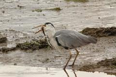 IMG_0778 (monika.carrie) Tags: monikacarrie wildlife scotland bullersofbuchan greyheron