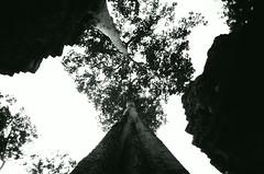 tree (Shoji Kawabata. a.k.a. strange_ojisan) Tags: lca neopan acros100 35mm film filmphoto filmphotogrpahy cambodia siemreap mono monochrome filmphotography lomo lomography trip 2017 may southeastasia asia analog analogphoto analogphotography blackandwhite black white scene tree