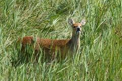 Chinese Water Deer (Mel Low) Tags: chinesewaterdeer wildlife henreedbeds reydon suffolkwildlifetrust suffolk