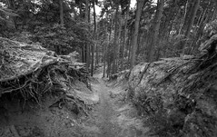 Devils Hill (Rob Pitt) Tags: delamere forest blackwhite sony a7rii canon 1740 f4 l cheshire mtb roots
