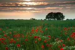 Poppies at Great Wilne (Julian Barker) Tags: popppy poppies field rural trees flowers flora red great wilne shardlow derbyshire east midlands england uk britain julian barker canon dlsr 5d mkii sunset dusk setting