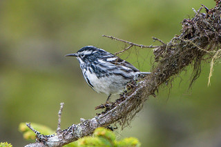Black-and-white Warbler , Ocean Pond, Fox Marsh Road