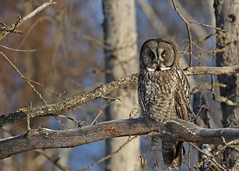 Great Gray Owl...#9 (Guy Lichter Photography - 4M views Thank you) Tags: owlgreatgray canon 5d3 canada manitoba hecla wildlife animal animals bird birds owl owls