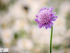 Scabiosa (Rob Felton) Tags: scabiosa dipsacaceae floweringplants cardington bedford bedfordshire meadow wildflower felton robertfelton elstowbrook flora flower