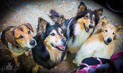 Gib uns was leckeres (Florian Munzert) Tags: hund schäferhund beagle collie hunde tiere vierbeiner fell haustier