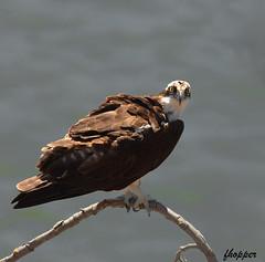Osprey (fhopper14) Tags: osprey birds birdsofprey californiabirds californiawildlife fisheatingbirds