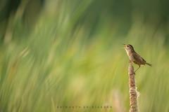 Wren (srimanthks) Tags: wildlife wild birds marsh grass green nature songbird animalplanet