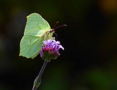 Brimstone on Verbena (Durley Beachbum) Tags: butterfly flower brimstone gonepteryxrhamni verbenabonariensis july bournemouth