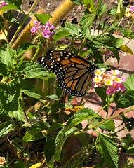 Monarch Butterfly in our garden (Craigs Travels) Tags: monarch danausplexippus garden