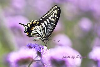 Papilio xuthus Linnaeus, 1767 (Asian Swallowtail)_AGL3291