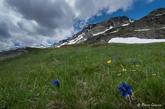 Les gentianes (Pierrotg2g) Tags: montagne mountain alpes alps alpi paysage landscape nature savoie fleurs nikon d90 tokina 1228