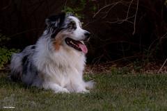 Enjoying the Outdoors (Jasper's Human) Tags: aussie australianshepherd dog grass portrait