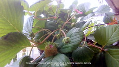 Strawberries 'Toscana' with flowers & fruit  in hanging basket on balcony 11th July 2018 00 (D@viD_2.011) Tags: strawberries toscana with flowers fruit hanging basket balcony 11th july 2018