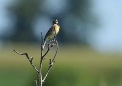 morning serenade (Mark.Swanson) Tags: buffalotraceprairie lakeofthewoods forestpreserve mahomet illinois champaigncounty dicksissel spizaamericana