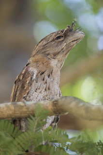 Tawny Frogmouth - Podargus strigoides