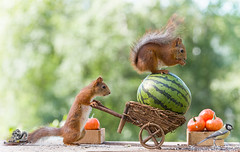 red squirrel with a wheelbarrow, tit and watermelon (Geert Weggen) Tags: agriculture animal backgrounds closeup colorimage crop cultivated cute dirt environment environmentalconservation environmentaldamage environmentalissues food freshness gardening global greenhouse growth harvesting healthyeating horizontal humor lifestyles mammal nature newlife nopeople organic outdoors photography planetspace planetearth plant pollution red rodent seed socialissues springtime squirrel summer tomato vegetable garden wheelbarrow pumpkin watermelon titmouse bird bispgården jämtland sweden geert weggen ragunda hardeko