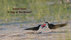 A Day at the Beach Sneak Peek (tkfranzen) Tags: newyork longislandny nickersonbeach jonesbeach oceansidemarinenaturestudyarea oceanside shorebirds terns wadingbird video