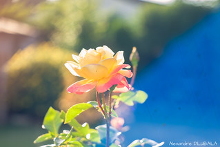 Rose x Bokeh x Blue Flare
