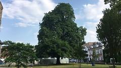 Horse Chestnut (Aesculus hippocastanum) - tree - July 2018 (Exeter Trees UK) Tags: horse chestnut aesculus hippocastanum tree july 2018