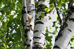 20180715__DSC5527_02 (miroru) Tags: d7200 tamron150600g2 grayhairedwoodpecker woodpecker