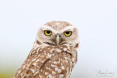 You Again. (Megan Lorenz) Tags: burrowingowl owl male bird avian birdofprey nature wildlife wild wildanimals florida mlorenz meganlorenz