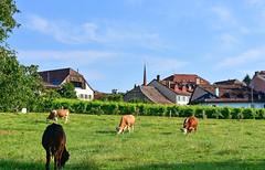 Village de Denens (Diegojack) Tags: denens vaud suisse d7200 nikon nikonpassion campagne vaches village groupenuagesetciel