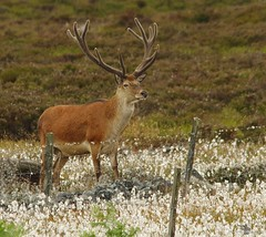 red deer stag peak district in cotton grass 7 july 2018 (9) (Simon Dell Photography) Tags: nature wildlife animal majestic stag red derr peak district fox house longshaw estate derbyshire uk england english countryside simon dell photography 2018 july summer cotton grass meadow moorland moor close up detail