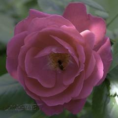 host rose (zawaski) Tags: alberta beauty canada canmore codajaywalker soykut zawaski©2018 naturallight rockymountains noflash calgary love ambientlight canonef2035mmf3545usm