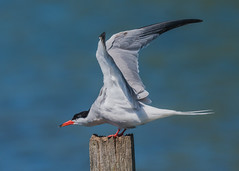 Common Tern ( Sterna hirundo ) (Dale Ayres) Tags: common tern sterna hirundo bird nature wildlife post wood