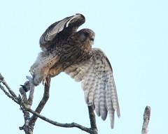 464A1000 (Cilmeri) Tags: kestrels kestrel raptors birdsofprey birds bbcwalesnature bbcspringwatch trawsfynydd gwynedd snowdonia eryri