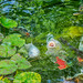 Fish out of Water (Jacqui1224) Tags: fish pond colour lilypads pfccwater18 water