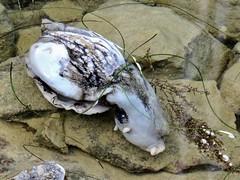 Strangely Beautiful (Bennilover) Tags: slugs seaslug seahare gastropods gastropod mollusk ocean animal live eggs sea danapoint california