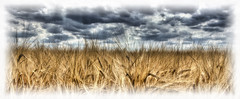 Wheat [Explore] (nigdawphotography) Tags: wheat crop plant grain arable field harvest yield matching essex manwoodgreen