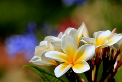 Plumeria (ᙢᗩᖇᓰᗩ ☼ Xᕮᘉ〇Ụ) Tags: frangipaniwhiteyellow whiteplumeriablossoms πλουμέριαήπλουμερία tree baum flora flowers blumen home zuhause colors farben bokeh macro canoneos1100d nature natur garten garden bouquet blooms blüte duft whiteyellow weisgelb plumeria smellsbeautiful exotic beauty flores