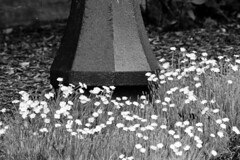Pink Flowers and Lamppost (pmvarsa) Tags: summer 2018 june analog bw blackandwhite film 135 ilford ilfordfp4plus fp4 fp4plus 125iso nikonsupercoolscan9000ed nikon coolscan manfrotto sekonic cans2s pentax spotmatic pentaxspotmatic classic camera takumar 300mm telephoto outdoor neighbourhood lamppost flowers garden waterloo ontario canada
