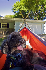 Hanging out (jkotrub) Tags: 52in2018 summer sun hang dog puppy smile warm day sunlight light shade tree trees home house relax outside outdoors golden hammock lazy adorable calm fun pet cute