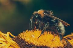 Bee (JWB Creative Life) Tags: bee essential life pollen pollenate fruit flower honey macro