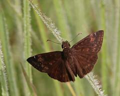 Zarucco Duskywing (Erynnis zarucco) (Mary Keim) Tags: taxonomy:binomial=erynniszarucco centralflorida marykeim splitoakforest