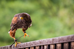 Harry (UpuautX) Tags: zoo crémines sikypark 70300mm sony a7iii bird raubvogel