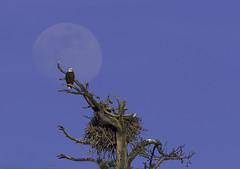 Eagle Moon (Omnitrigger) Tags: baldeagle fullmoon moon nature oregon alignment wildlife nest tree