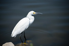 610_3262 (rskim119) Tags: irvine san joaquin wildlife sanctuary refuge nikon d610 28300 bird animal nature great snowy egret