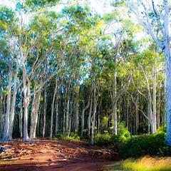 The Pathway - Hiking Aiea Loop Trail - Image 408 S (Dan Davila) Tags: forest wood woods road trail tree trees hiking hike aiea loop oahu hawaii flora plants plant foliage