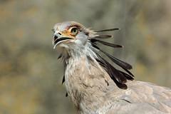 Secretarybird (K.Verhulst) Tags: secretarybird secretarisvogel vogels vogel birds bird blijdorp blijdorpzoo diergaardeblijdorp rotterdam