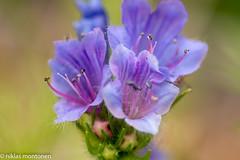 Garden study (aixcracker) Tags: nikond800 60mm micro macro makro lähikuva närbild closeup summer sommar kesä flower blomma kukka july juli heinäkuu porvoo borgå suomi finland green grön vihreä white vit valkoinen blue blå sininen