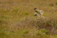 Short Eared Owl hunting (ejwwest) Tags: shortearedowl portsmouth owl hampshire asioflammeus langstone farlington birds southcoast solent england unitedkingdom gb