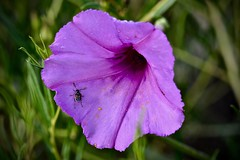 On Bindweed Flower:  Beetle Pollinator with Fan-Shaped Antennae (Ginger H Robinson) Tags: beetle insect pollinator fanshaped antennae sensing aid bindweed convolvulusarvensis trumpet shaped large solitary flower pollen noxiousweed summer morning rockymountain frontrange colorado macro